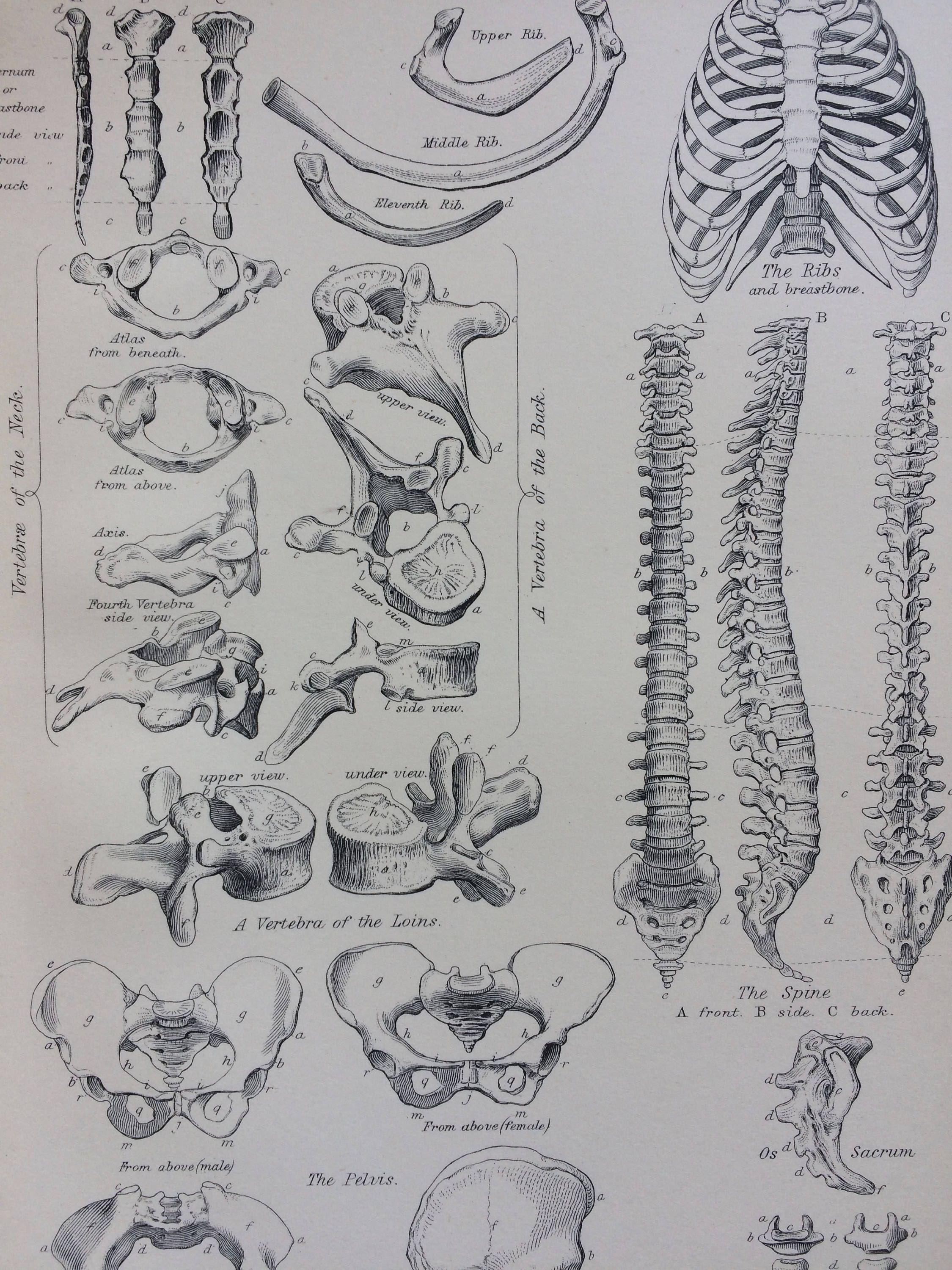 1891 backbone original antique encyclopaedia illustration wall decor home decor osteology bones  [ 2250 x 3000 Pixel ]