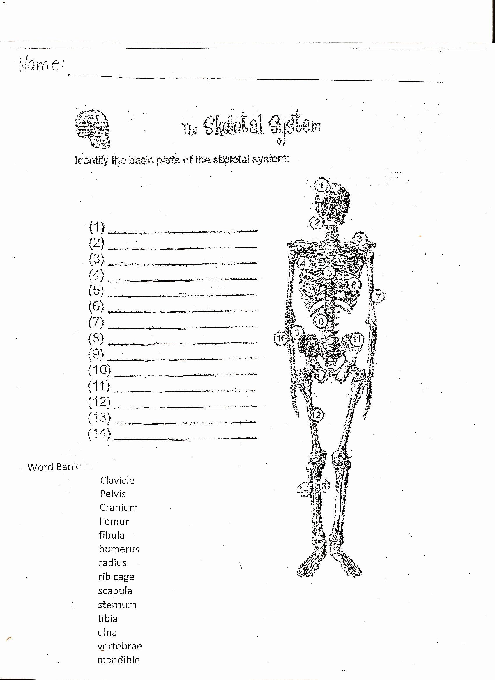Skeletal System Worksheet New Skeletal System