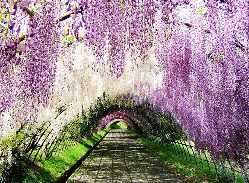 Photo Pemandangan Alam Di Jepang Photo Pemandangan Alam Di Jepang Wallpaper Pemandanganhttp Pemandanganoce Blogspot Co Pemandangan Bunga Wisteria Taman Indah