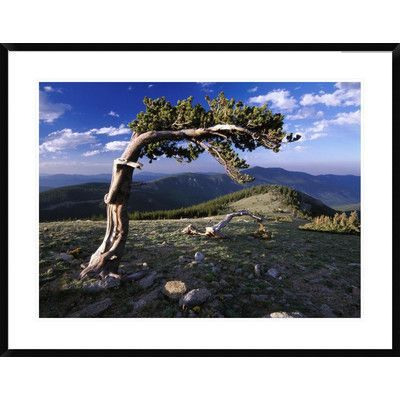 Global Gallery Bristlecone Pine, Mt Evans, Colorado by Tim Fitzharris Framed Photographic Print Size: