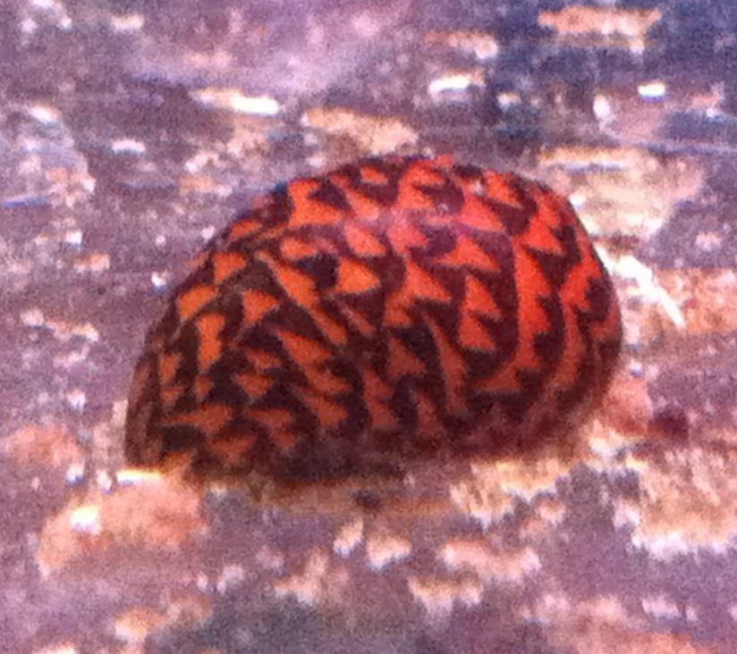 Sulawesi Yellow Diamond Nerite Snail 1 5cm Algae Eater Snail Pet Supplies Aquarium Snails