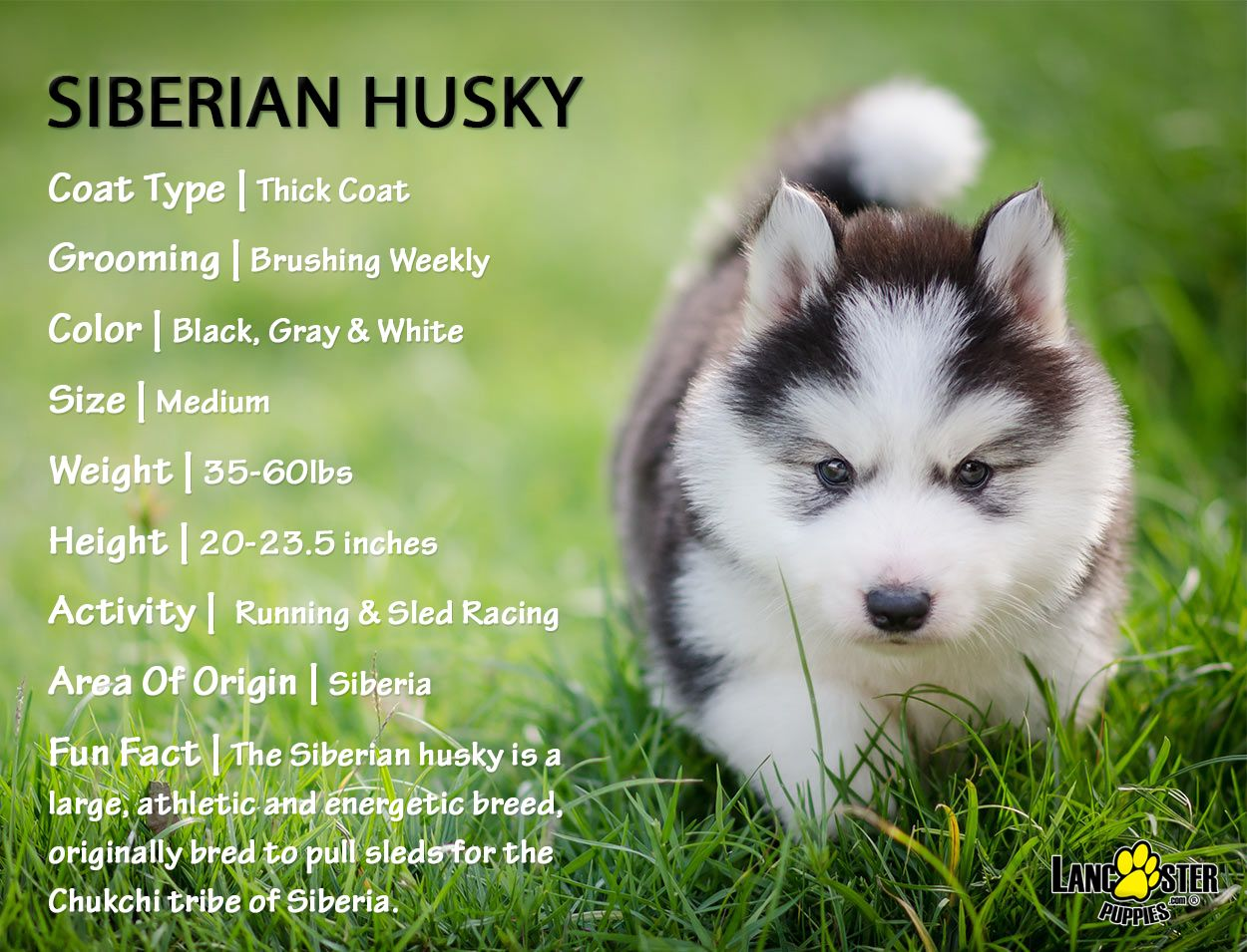 Husky Puppies For Sale Husky Puppy Puppies Husky