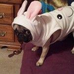 Pug Chloe's Story
