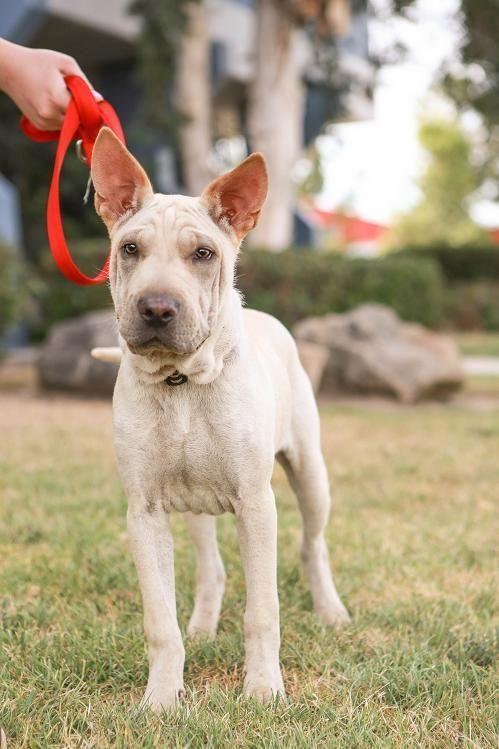 Adopt Kika On Heart Melted Basenji Dogs Shar Pei Mix Cute Animals