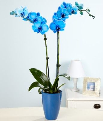 Blue Phalaenopsis Orchid Gorgeous Blue Orchids Blue Orchid Flower Phalaenopsis Orchid