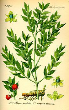 Ruscus aculeatus Liliopsida Fam.Liliaceae | Botanica, Piante, Natura