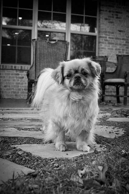 Tibetan Spaniel Dog Art Portraits Photographs Information And