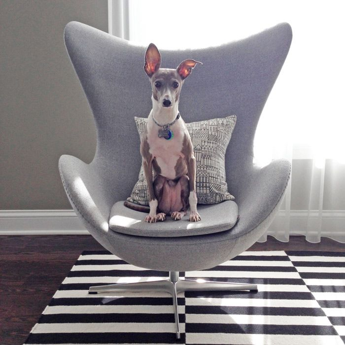 Monday's pets on furniture | Bella the Italian greyhound