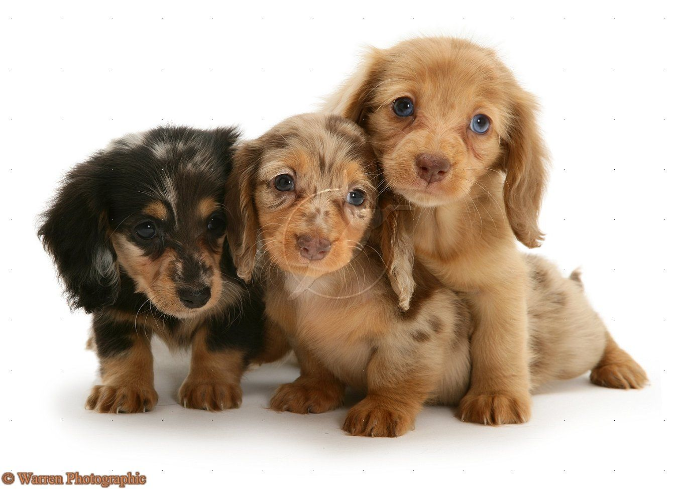 Diamond Dachshunds Breeder Of True To Size Miniature Dachshund
