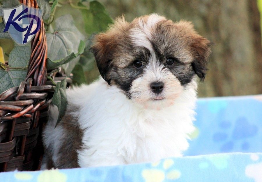 Puppy Finder Find Buy A Dog Today By Using Our Petfinder Havanese Puppies Havanese Puppies For Sale Cute Puppies