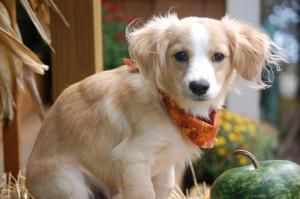Adopt Poppy On Cocker Spaniel Mix Dachshund Mix English Cream