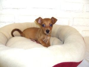 Red Chichi Boy 1 5 Lbs Is An Adoptable Chihuahua Dog In Orlando