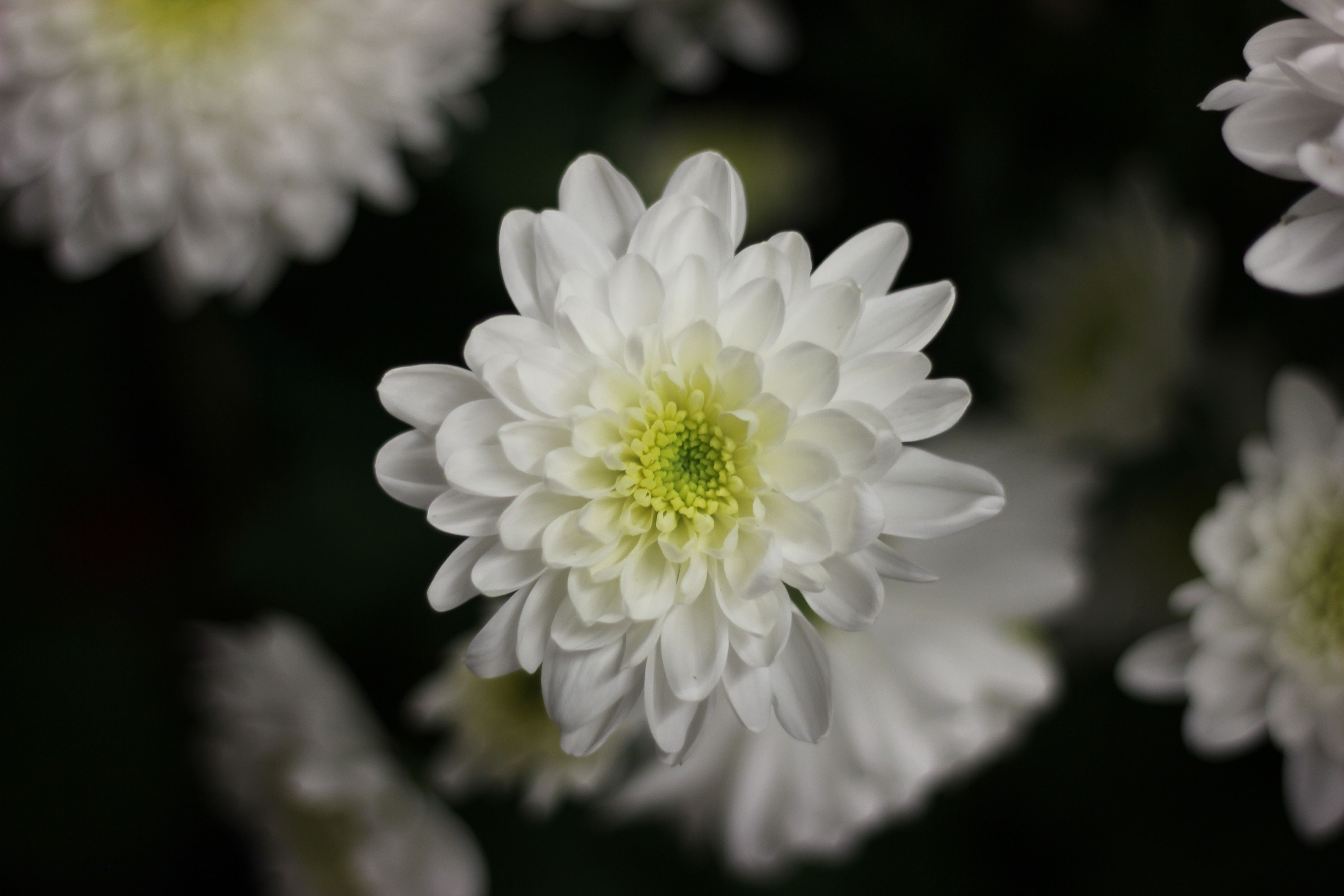 Attachment file for beautiful nature wallpaper for desktop with attachment file for beautiful nature wallpaper for desktop with white mums flower mightylinksfo