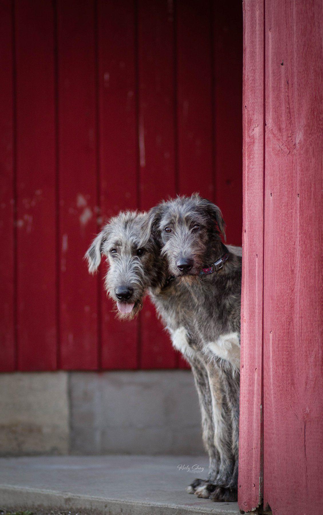 Pin By Lisa Zurschmeide On Wolfies In 2020 Irish Dog Wolfhound Animal Humor Dog