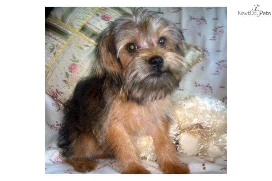 Griffonshire Puppies Asher Designer Breed Griffonshire Dog