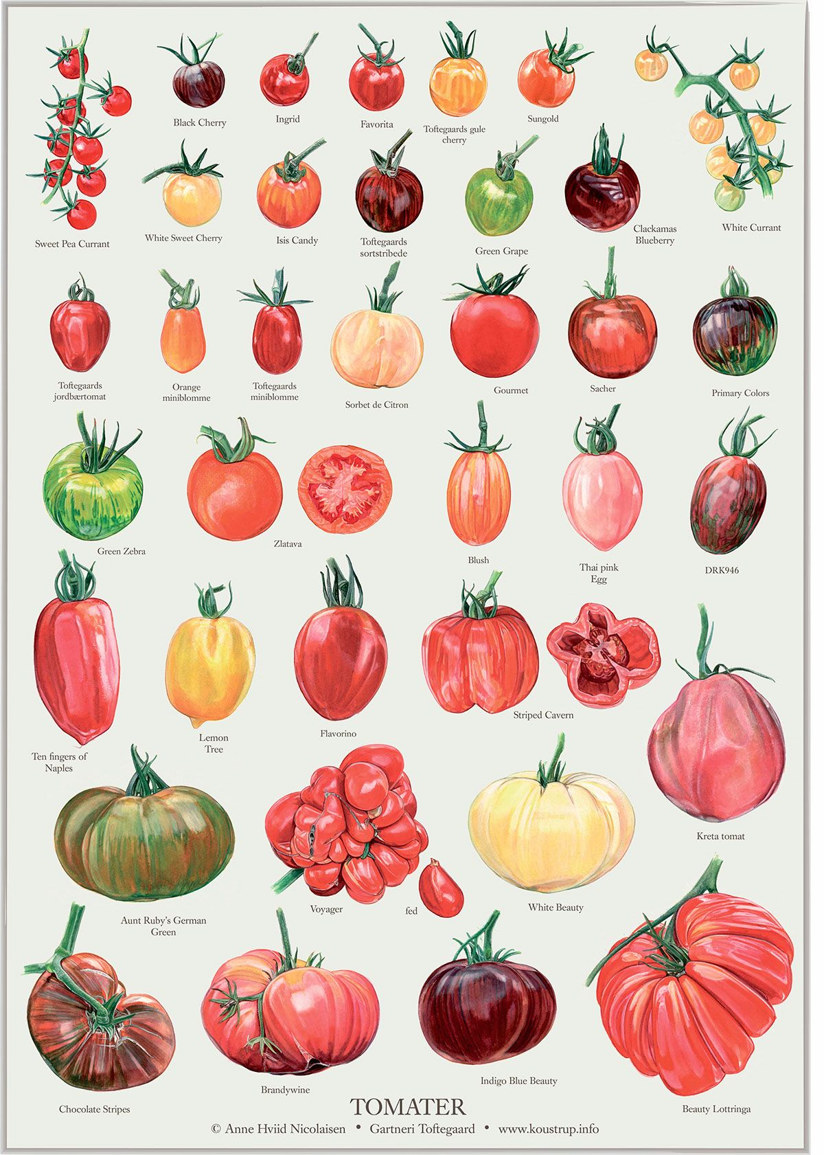 36 Different Kinds Of Tomatoes Illustrated To Be Used On