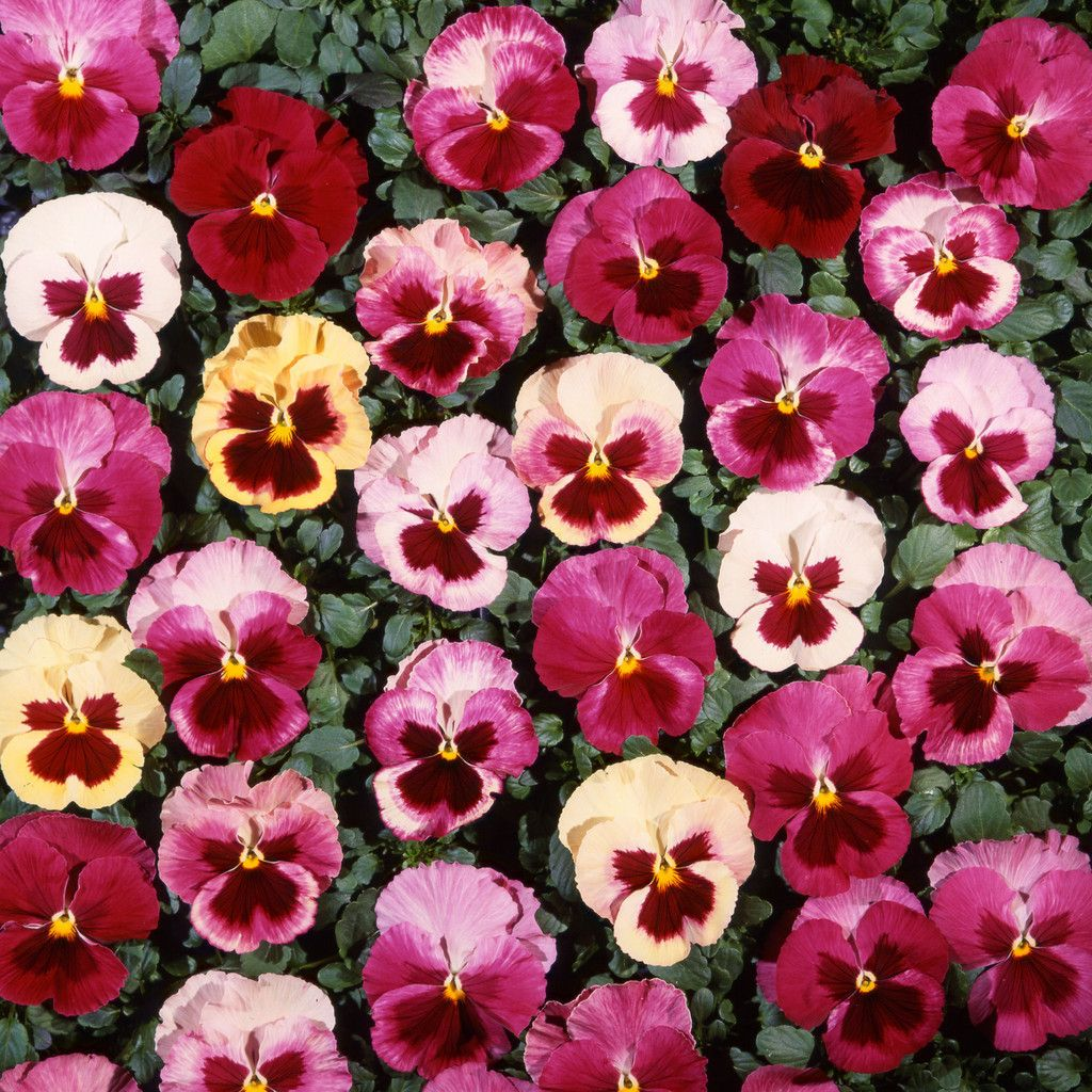 Bulk Pansy Seeds Pansy Acq Strawberry Mix Pansies Flower Seeds Strawberry Seed