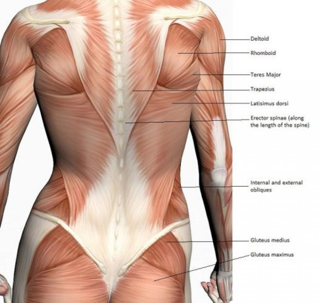 Woman Back Muscles Diagram Block And Schematic Diagrams