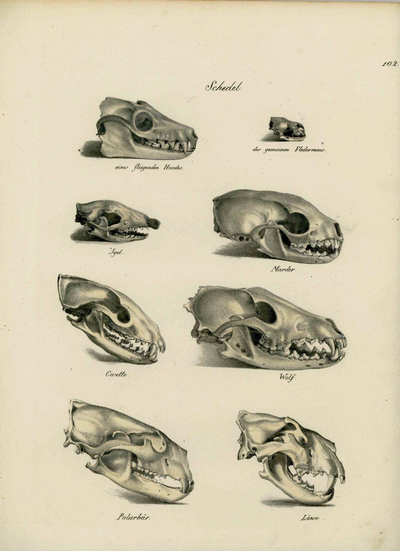 1824 skulls original antique animal anatomy lithograph | Pinterest ...