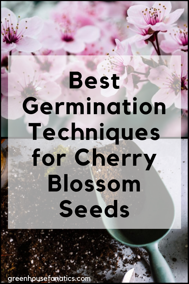 Best Germination Techniques For Sakura Seeds Cherry Blossom Greenhouse Fanatics Fall Vegetables To Plant Germination How To Grow Bonsai