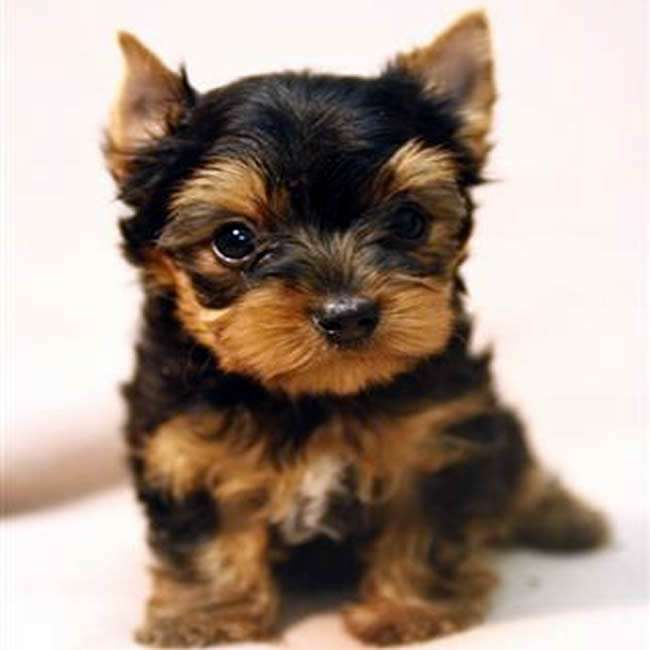 Gloria - Teacup Yorkshire Terrier Puppy. She most likely ...
