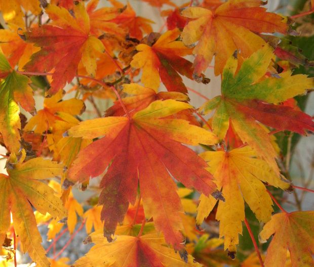The Six Best Japanese Maples For Fall Color With Images