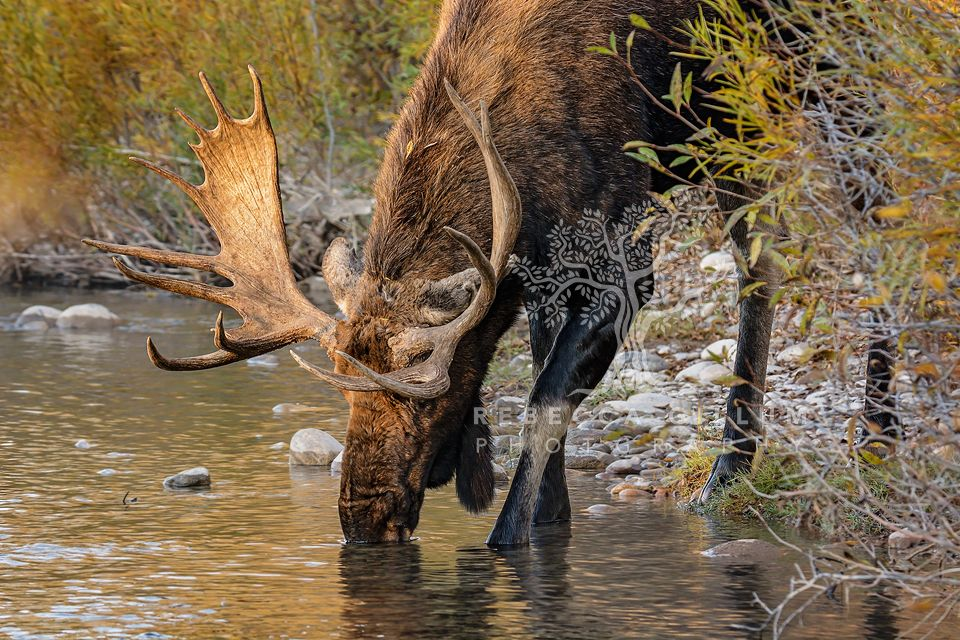 A bull moose getting an early morning drink. Grand