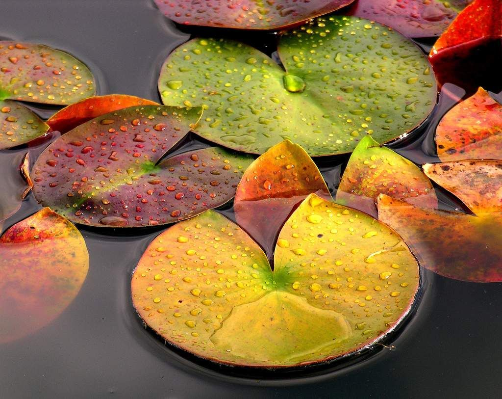Rain drops on lily pads colour green leaf moisture orange pink rain drops on lily pads colour green leaf moisture orange izmirmasajfo Images