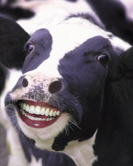 Funny Cow  Funnypica