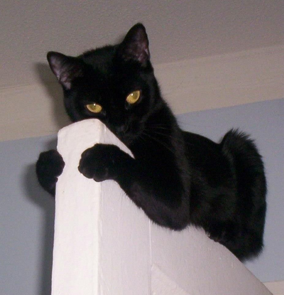 """""""The reason cats climb is so that i can look down on almost every other animal. It's also the reason why they hate birds."""" --K C Buffington I think they just like to give you a fright when you walk into a room. Ha!! Ha!! Incensewoman"""