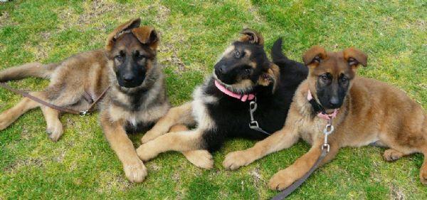 Vonpeta Kennels Longwood South Australia German Shepherd