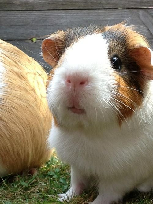 Looks Like My Old Guinea Pig Nutty If You Got Rid Of The -2653