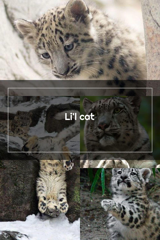 Li L Cat This Is One Of Julikas Kitten At Zoo Karlsruhe Cloudtail The S En 2020