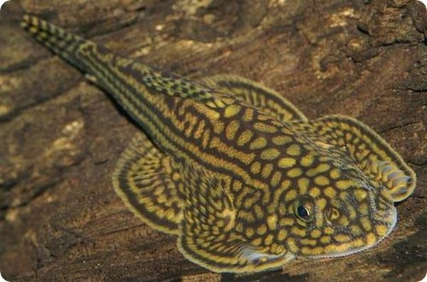 Севелия разлинованная - Sewellia lineolata Эта удивительная рыбка, живущая в реках с мощным течением, внешне напоминает подводную бабочку, раскрашенную в цвета леопарда. #рыба #fish