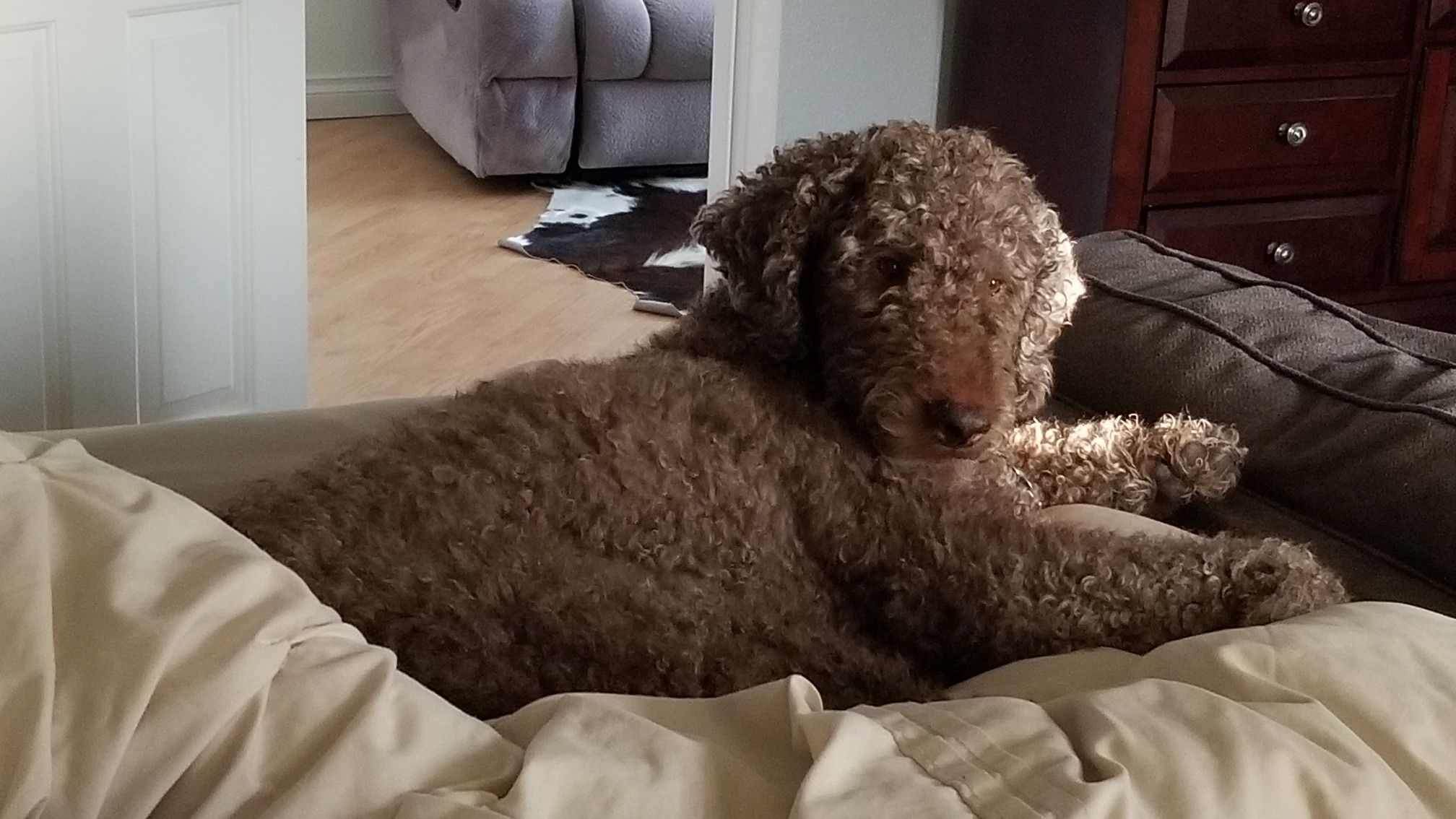 My Adorable Liko Poodles A Community Sharing Board