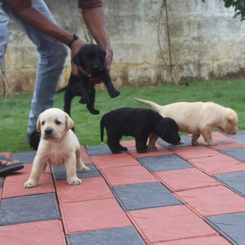 Puppy Land Land Of Puppies Top Quality