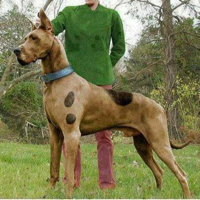 Scooby Doo Great Dane So Cool Except The Ears Yes They Match