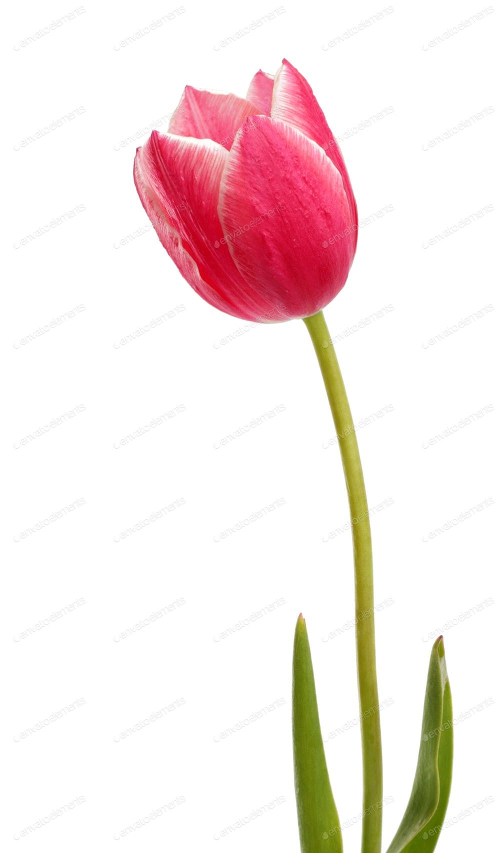 Pink Tulip Flower By Michalex S Photos Ad Ad Pink Tulip