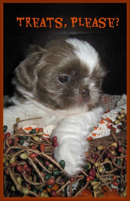 Rare Lavender Blue Shih Tzu Puppy Shih Tzu Shih Tzu Puppy Shih