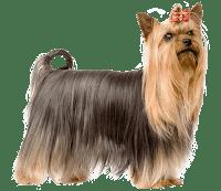 Best Food For Yorkshire Terrier Yorkshire Terrier Dog Food Online Dogs