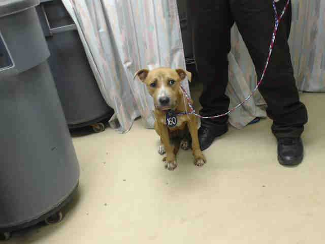 Houston~This DOG - ID#A413744 I am a female, tan and white Pit Bull Terrier mix. My age is unknown. I have been at the shelter since Aug 22, 2014...
