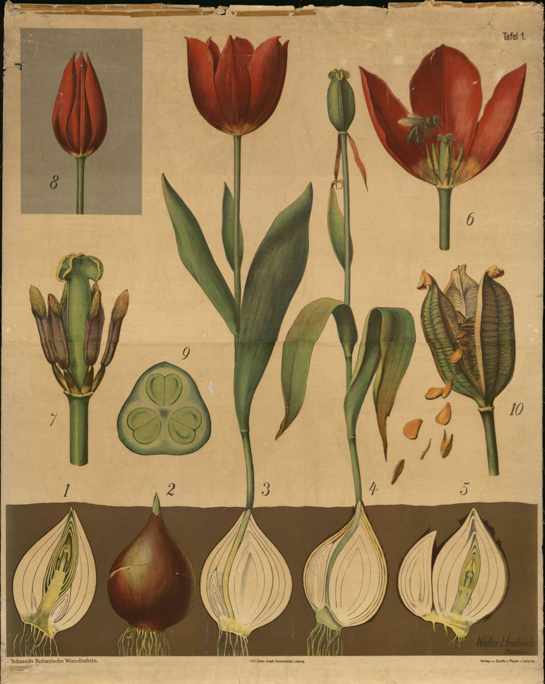Vintage plant anatomy. The art of anatomical drawings, long gone ...