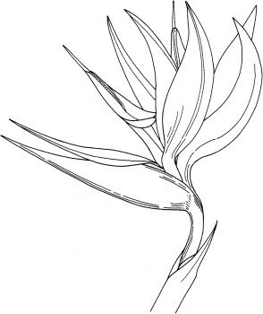 bird of paradise flower coloring page super coloring