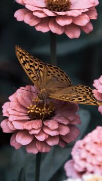Dostojka malinowiec na różowej cynii - Tapeta na telefon