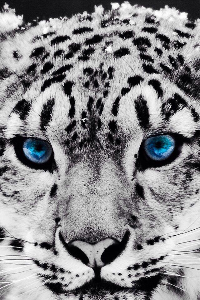 Pin von Vincent Jiam auf Snow leopard | Pinterest