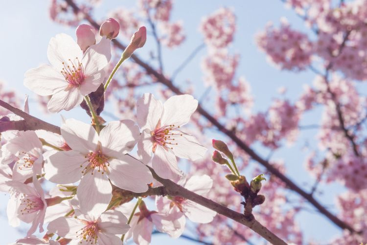 How To Spot The Differences Between Cherry Plum And Peach Blossoms Japan Info In 2021 Cherry Blossom Wallpaper Peach Blossoms Blossom Trees