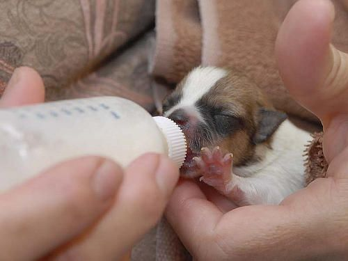 If You Ve Just Been Given The Job Of Being A Foster Parent To A Puppy Lucky You The Puppy Should Be Nursing And Gett Newborn Puppies Dog Milk Newborn And Dog
