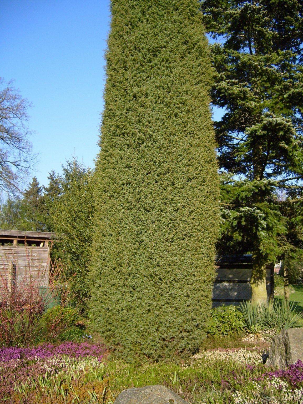 juniper tree for privacy screen gardens u0026 flowers pinterest