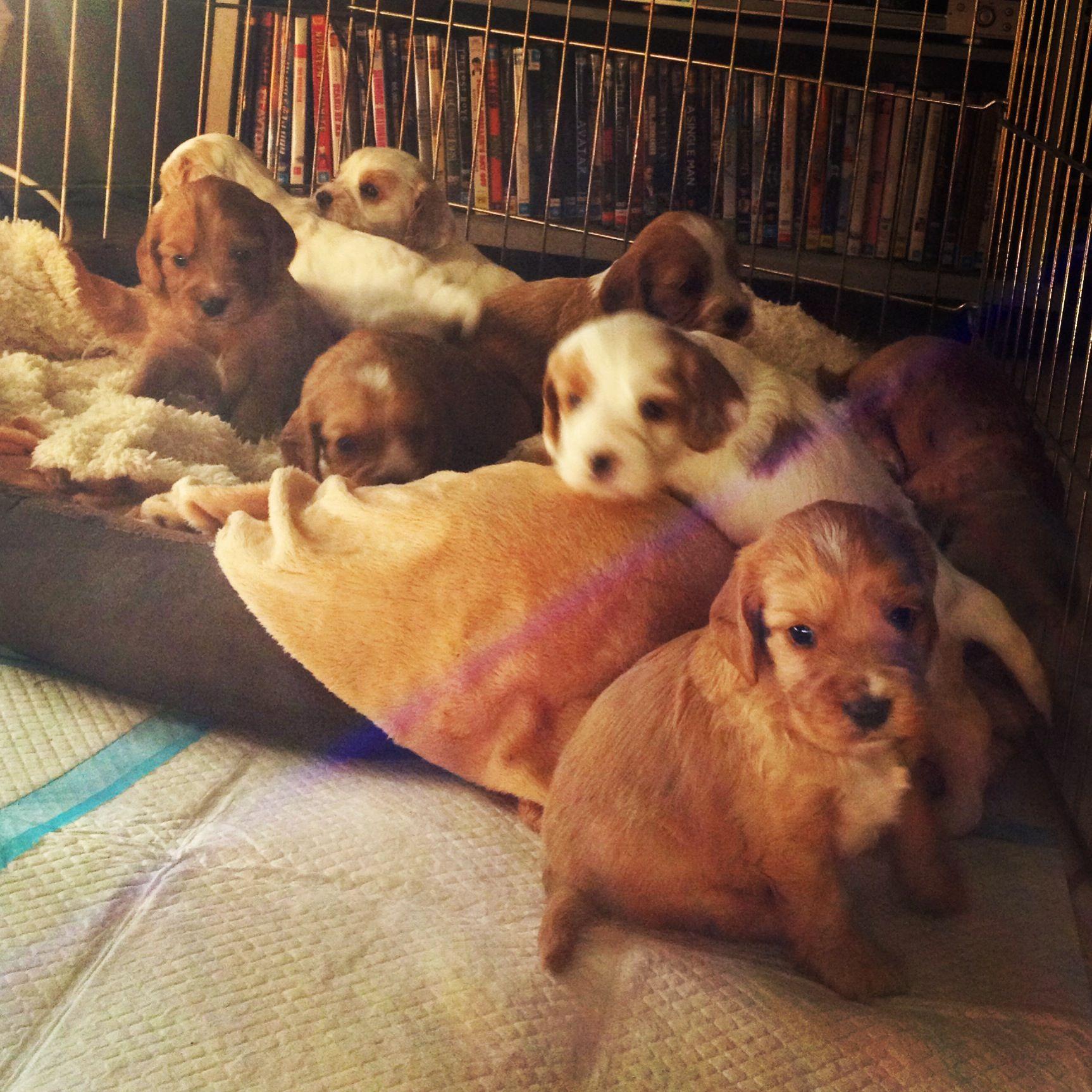 4 Week Old Cockervoodle Puppies Cavapoo Puppies Puppies Corgi