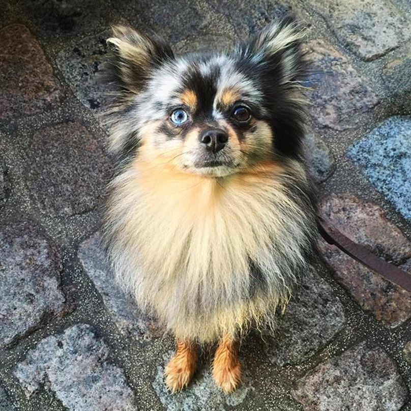 19 dogs with two different eye colors dog eyes dogs